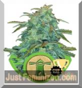 Royal Queen Haze Auto feminized best cannabis seeds for sale